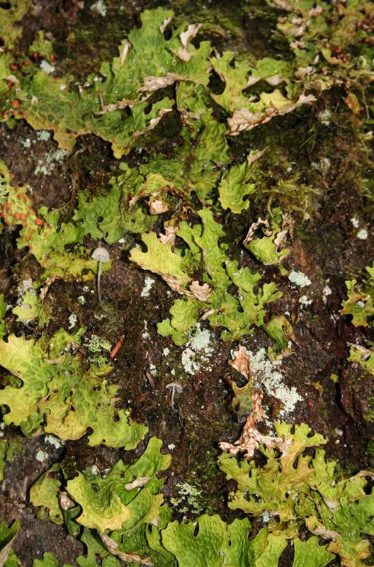 Among the Lichen, this tiny little mushroom.