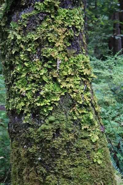 Lichen on a Sitka Spruce, green every where..
