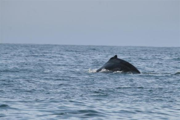 A humpback whale came up beside us again, with no engine running, they seem to come closer!