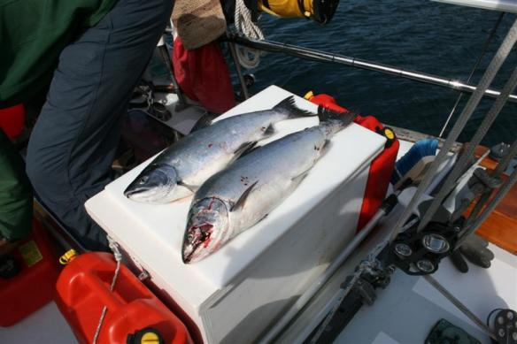 Bert caught two salmon while we sailed, it was just the perfect speed.