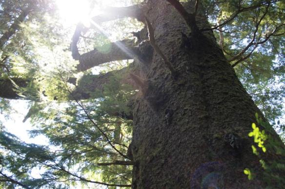 Beautiful Sitka spruce, reaching for the light, in Klaskish inlet.