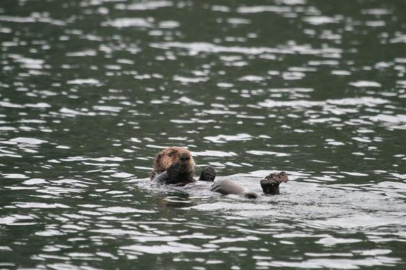 here he is, the Walters cove sea otter.