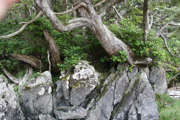 Trees, growing out of granite rock.