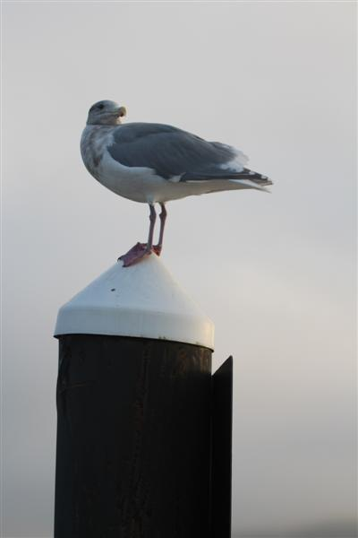 my new gull friend, i call him j2.