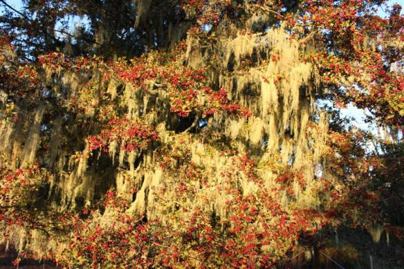 hawthorn berries and spanish moss