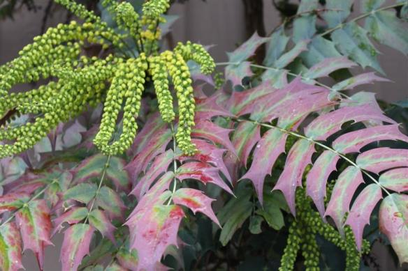 I thought this was a decorative Oregon grape, its not, will do some research ......