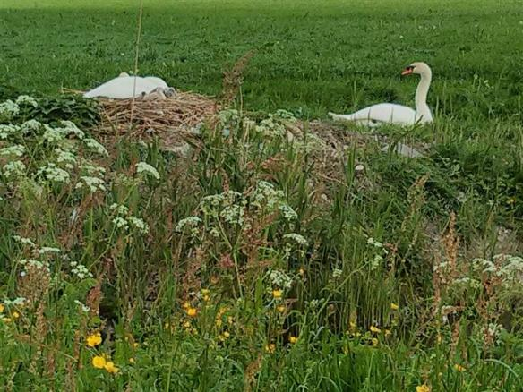Mute swan pair, the female(i think) is on the nest with the cygnets,i counted 5 of them!!!