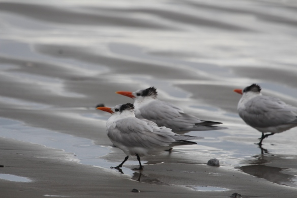 Royal terns hangin' out!!!