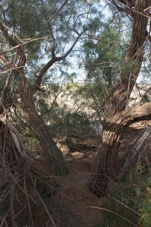 Unruly Tamarisk tree.