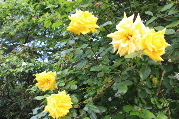 did i mention yellow??? look at these beautiful roses...