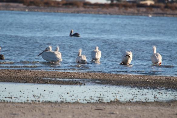 White pelicans!!!!!