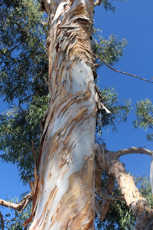 Giant Blue gum Eucalyptus line the streets.