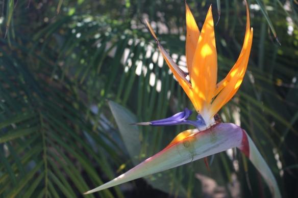 Beautiful Bird of Paradise flowers, growing alongside the road.