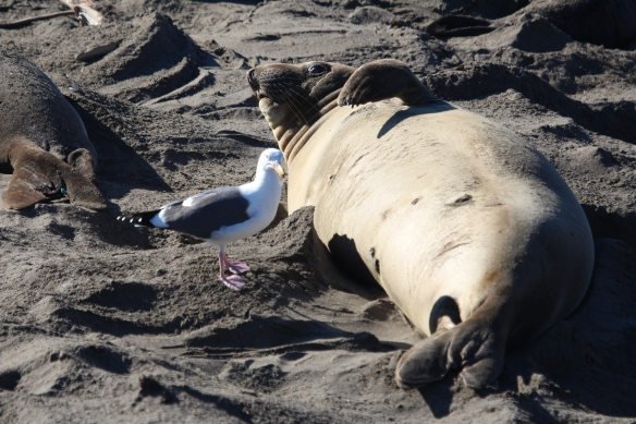 This female has not given birth yet, and the seagulls hang around, to clean up after the birth.