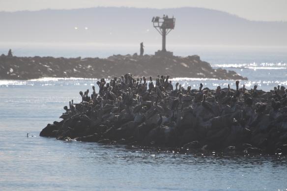 enough pelicans???