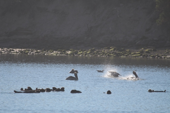 Washing pelicans and snoozing sea otters.