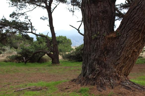 Magnificent Monterey pine.