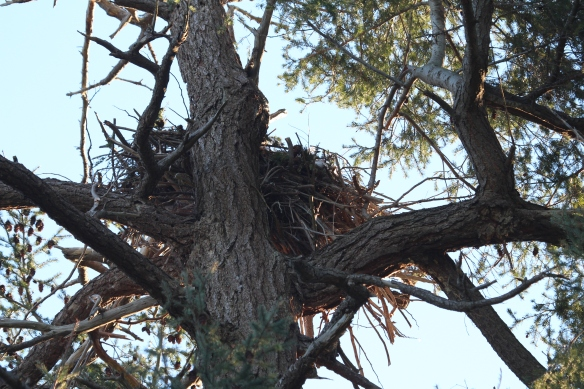 Eagles nest on Cabbage island