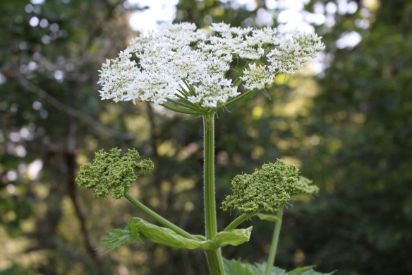 giant cow parsnip