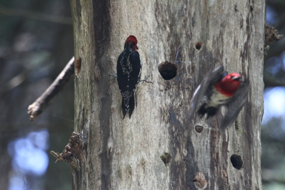 the male bird is blurry here but you can still see clearly the red head and chest