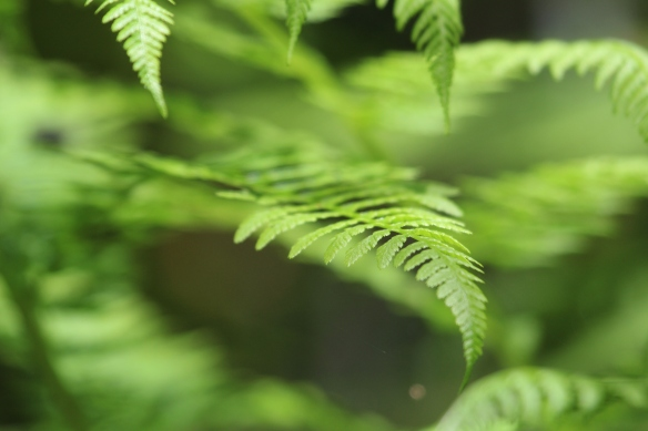 for gotten photo...... ferns in Shirley......