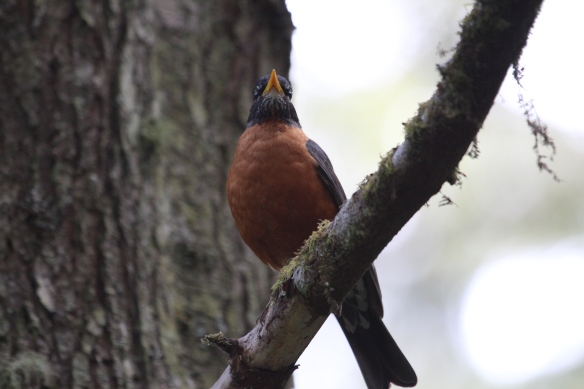 male robin, who woke me up in the very early morning with his beautiful song.