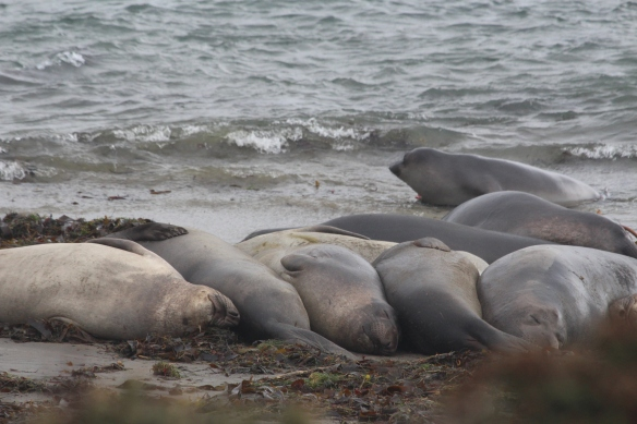 A very dreary,dark day, but the Elephant seals dont care!!