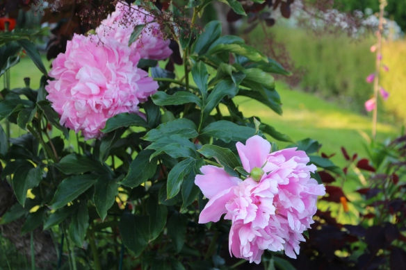 double pink peonie