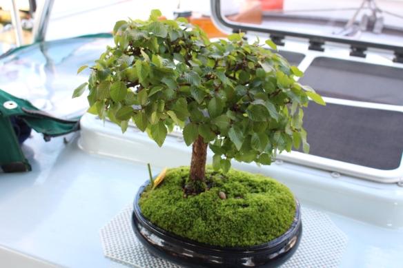 My little Japanese hornbeam bonsai