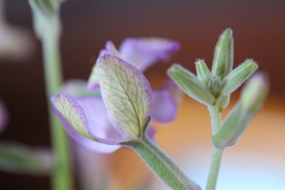 The delicate little flowers from night scented stock.