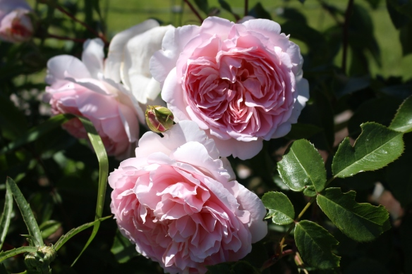 gorgeous pink roses.