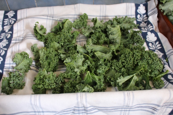 Kale, washed and dried, ready to go into the oven.