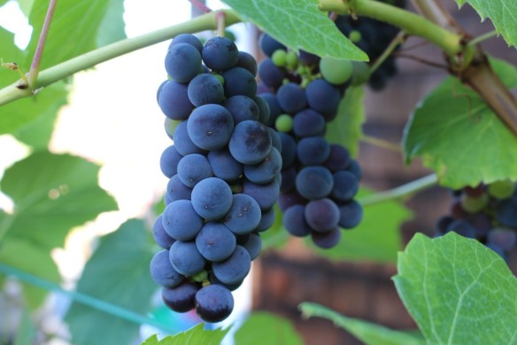 Grapes in Martha's garden, aren't they gorgeous????