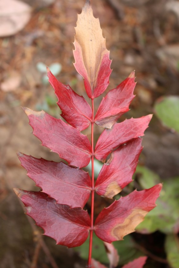 Oregon grape, turning a beautiful deep red.