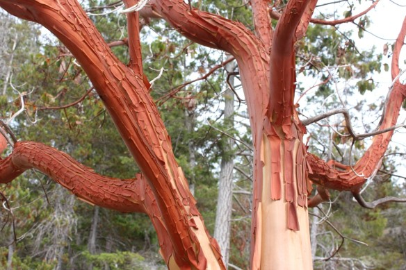 The orange bark of the ever peeling Arbutus.