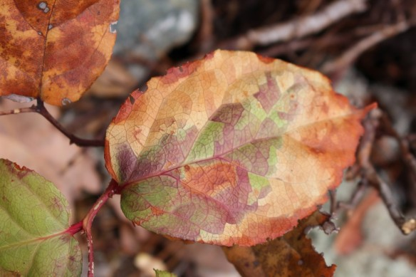 Its been so immensely dry here this summer, that most of the trees and bushes started changing color much sooner then normal. This Salal  bush is already dying off.