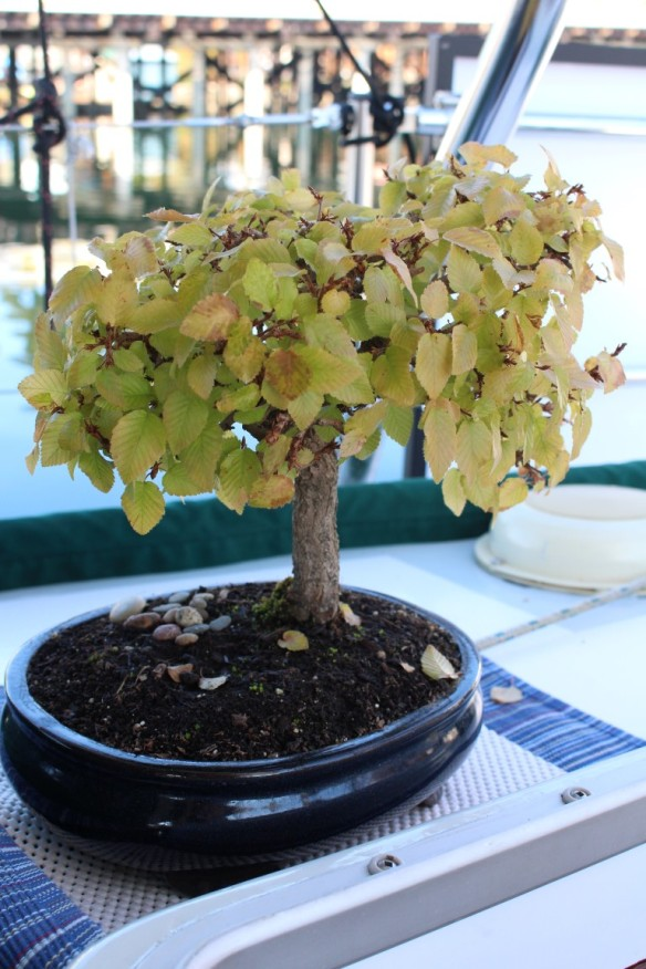 My bonsai, turning color.  Its now even getting a bit of red on the leaves.