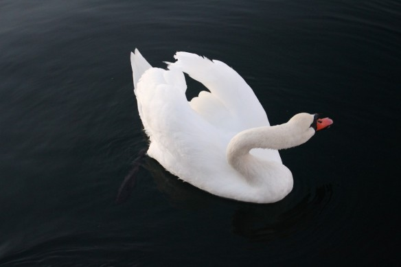 Adult Mute Swan.