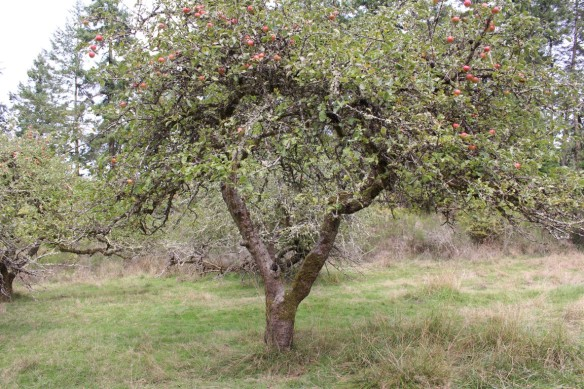 Apple orchard on Prevost island.