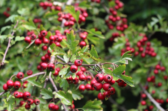 The hawthorn trees are just loaded with berries this year!!