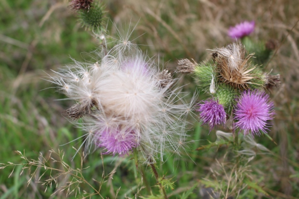 Thistle going to seed, these flowers smell wonderful!