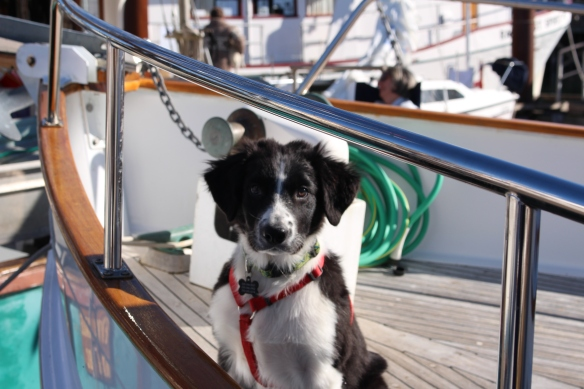 Beautiful border collie pup, guarding the boat, kind of....