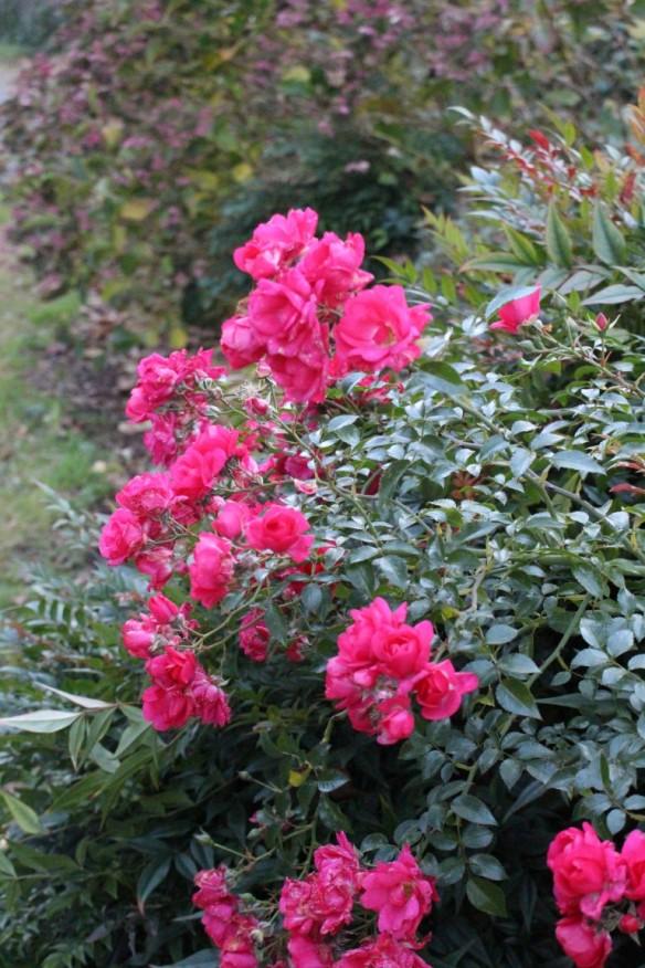 Brave little roses!!