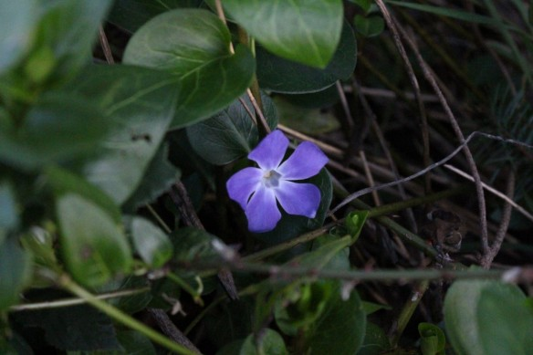 Very brave little periwinkle