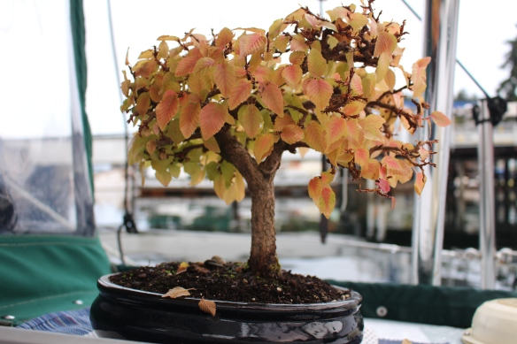 leaves turning red on the Japanese hornbeam bonsai.