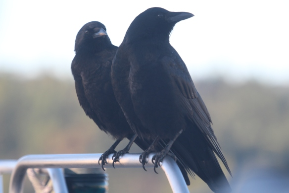 Crow couple, photo taken through the plastic.