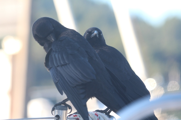 OUR CROW COUPLE AND INSIDE OF CURTSY 036