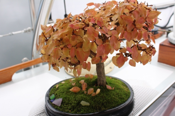 pender-harbourfall-colors-bonsai-127