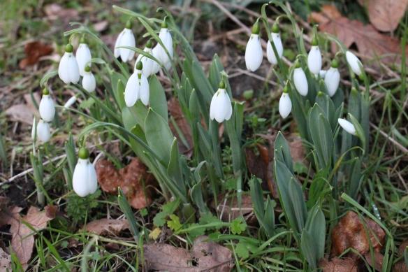 spring-2017snow-drops-022