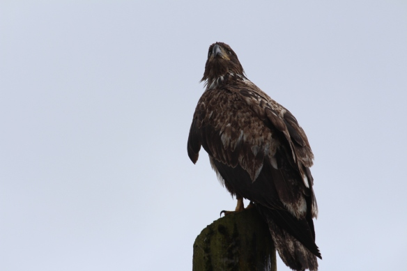 Lords pocket, Thorne bay, eagles in Ketchikan 2017 090